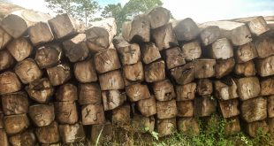 $37Mill Realised From Timber Export And A Proposed Reforestation Agency